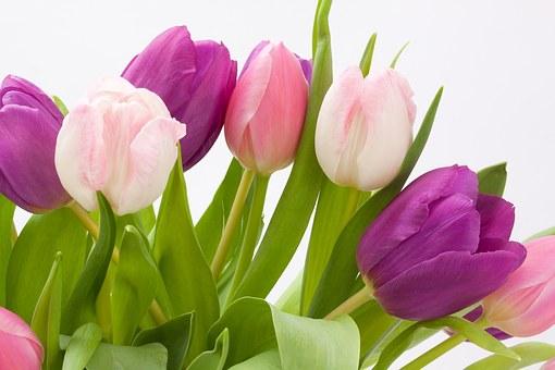 OBRÁZEK : tulipany.jpg